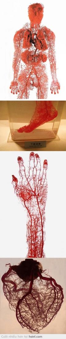 Mạch máu trên cơ thể người